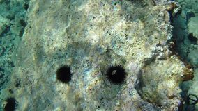 Underwater sea urchins in clear water stock footage