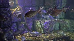 Underwater sea world. Aquarium with a large aquarium. sea fish swim in the decorated aquarium. stock video