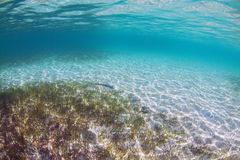 Underwater Seagrass. A bed of seagrass photographed underwater Royalty Free Stock Photo