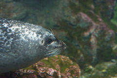 Underwater seal Royalty Free Stock Images