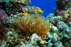 Underwater sealife family of clownfish. Underwater scenery coral garden with anemone and a family of yellow clownfish stock photos