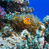 Underwater sealife family of clownfish. Underwater scenery coral garden with anemone and a family of yellow clownfish Royalty Free Stock Images