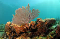 Underwater seascape with focus on sea fan Royalty Free Stock Photo
