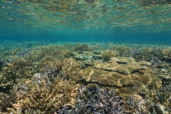 Underwater seascape healthy coral reef Pacific Stock Image