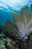 Underwater seascape and sea fan in the Caribbeans stock image