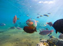 Underwater seaview with tropical fish school. Young coral formation and coral fish shoal. Butterflyfish, parrotfish, surgeonfish. Aquarium fish in wild nature royalty free stock photography