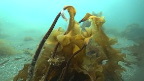 Underwater seaweed shots in Kara Sea of Arctic Ocean. Marine life on seabed on background of pure and transparent clean clear water stock video footage