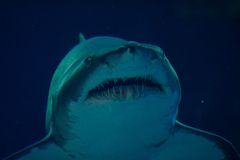 Underwater shark portrait. Closeup shot Stock Images
