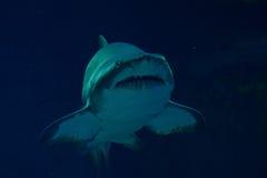 Underwater shark portrait. Closeup shot Royalty Free Stock Photo