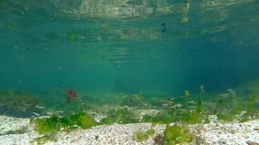Underwater shoal of small fish between water surface and sandy seabed, Black sea, Odessa, Ukraine stock video