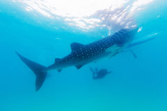 Underwater shoot of a gigantic whale sharks ( Rhincodon typus) Stock Image