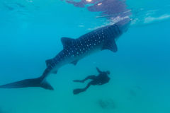 Underwater shoot of a gigantic whale sharks ( Rhincodon typus). Feeding plankton on the surface of the water. The diver in the background.These sharks have no stock photos