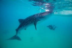 Underwater shoot of a gigantic whale sharks ( Rhincodon typus) Stock Images