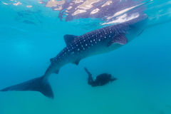 Underwater shoot of a gigantic whale sharks ( Rhincodon typus) Royalty Free Stock Photography