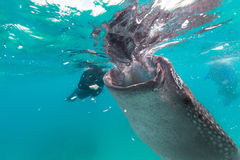 Underwater shoot of a gigantic whale sharks ( Rhincodon typus). Feeding plankton on the surface of the water. The diver in the background.These sharks have no stock photo