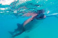 Underwater shoot of a gigantic whale sharks ( Rhincodon typus). Feeding plankton on the surface of the water. These sharks have no teeth and are filter feeders royalty free stock images