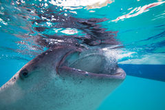 Underwater shoot of a gigantic whale sharks ( Rhincodon typus) Royalty Free Stock Photo