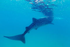 Underwater shoot of a gigantic whale sharks ( Rhincodon typus). Feeding plankton on the surface of the water. These sharks have no teeth and are filter feeders royalty free stock photography