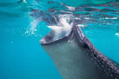 Underwater shoot of a gigantic whale sharks ( Rhincodon typus). Feeding plankton on the surface of the water. These sharks have no teeth and are filter feeders stock image