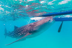 Underwater shoot of a gigantic whale sharks ( Rhincodon typus). Feeding plankton on the surface of the water. These sharks have no teeth and are filter feeders royalty free stock photo