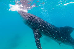 Underwater shoot of a gigantic whale sharks ( Rhincodon typus) Royalty Free Stock Images