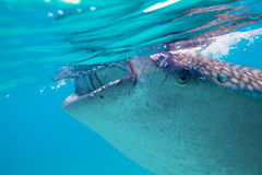 Underwater shoot of a gigantic whale sharks ( Rhincodon typus). Feeding plankton on the surface of the water. These sharks have no teeth and are filter feeders stock photos