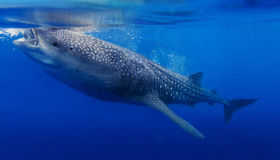 Underwater shoot of a whale shark Stock Photography
