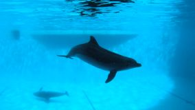 Underwater shooting. Dolphins slowly swim in the pool. Underwater shooting of four dolphins who play at the bottom of the pool stock footage