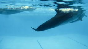 Underwater shooting. Dolphins slowly swim in the pool. Underwater shooting of four dolphins who play at the bottom of the pool stock video footage