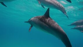 Underwater shooting of dolphins swimming in one direction. Family of mammals swims underwater. Dolphins at arm's length