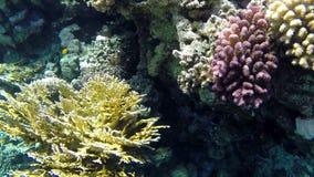 Underwater shooting exotic inhabitants of Red Sea stock video