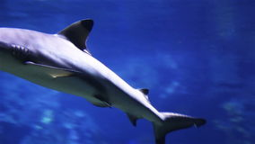 Underwater shot of approaching Grey Reef Shark, coral reef environment. stock video footage
