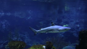 Underwater shot of approaching Grey Reef Shark, coral reef. stock video