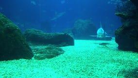 Underwater shot of approaching Grey Reef Shark, coral reef environment.