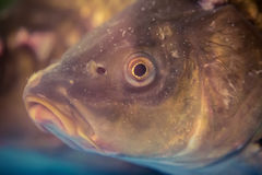Underwater shot of the carp fish close up Royalty Free Stock Images