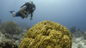 A diver gets close to a coral reef. An underwater shot of a diver getting close to a coral reef. A potato cod seems to be pretty cool swimming around with the stock video footage