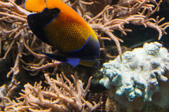 Underwater shot, fish in an aquarium. With coral and sea anemone Stock Photography