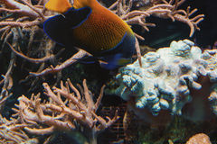 Underwater shot, fish in an aquarium. With coral and sea anemone Royalty Free Stock Photos