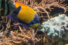 Underwater shot, fish in an aquarium. With coral and sea anemone Stock Images