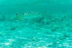 Underwater shot fishes in deep tropical sea Stock Photo