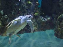 Underwater shot of green sea turtle Stock Image