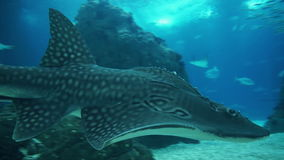 Underwater shot of Grey Reef and Whale Shark. Close encounter stock video footage