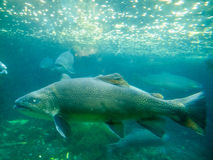 Underwater shot of large Tiger Trout Stock Photo