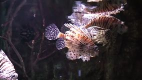 Underwater shot of lion fish moving stock video