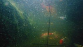 Underwater shot of many Koi fish swim in pond.  stock footage