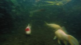Underwater shot of many Koi fish swim in pond stock video footage