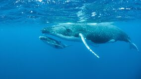 Free Underwater Shot Of Humpback Whales Swimming In The Pacific Ocean Stock Images - 191147434