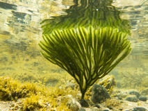Underwater shot of seaweed plant surface reflected Stock Photography