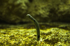 Garden eel popping up. Underwater shot of small garden eel popping up from the seabed Royalty Free Stock Photo