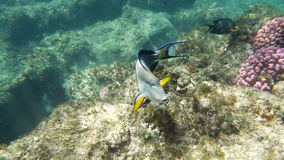 Underwater Shot of Surgeon Fish. Slow motion underwater shot of a surgeon fish swimming by the coral reef in Red Sea stock footage